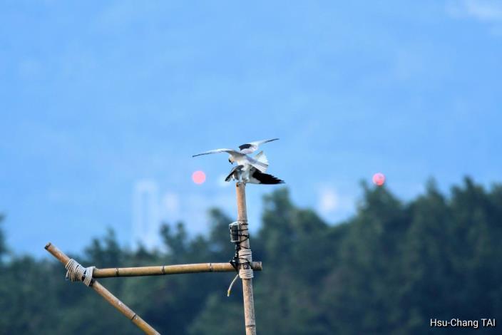 社子島濕地設置棲架黑翅鳶現身現身交配 攝影者:戴旭璋