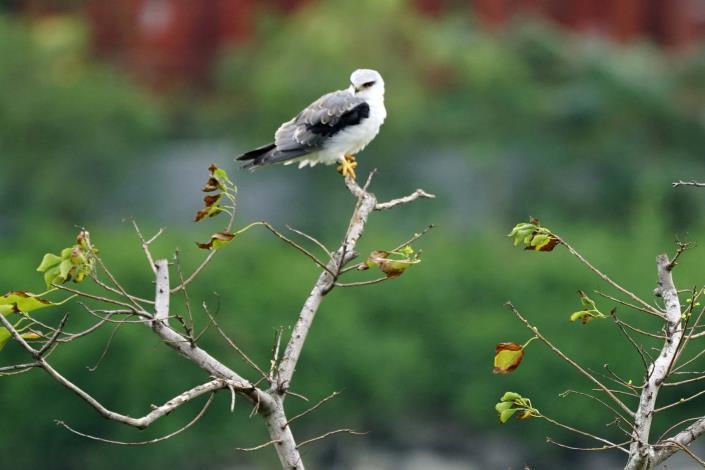 北市水利處希望黑翅鳶能在社子島濕地「安居樂業」,順利繁衍