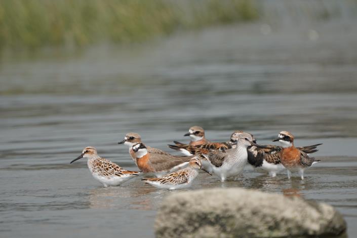 歡迎民眾到社子島濕地賞鳥