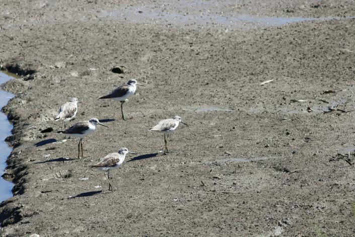 冬候鳥北返  春過境鳥類逗熱鬧