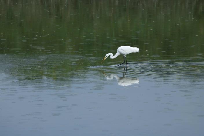 社子島濕地擁有豐富的濕地生態
