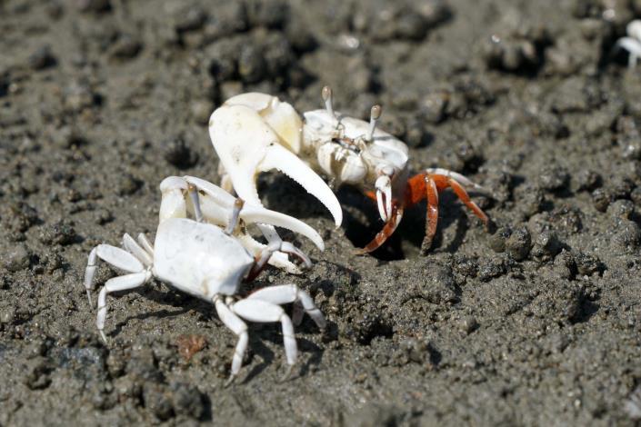 社子島濕地可觀察到豐富多樣的螃蟹