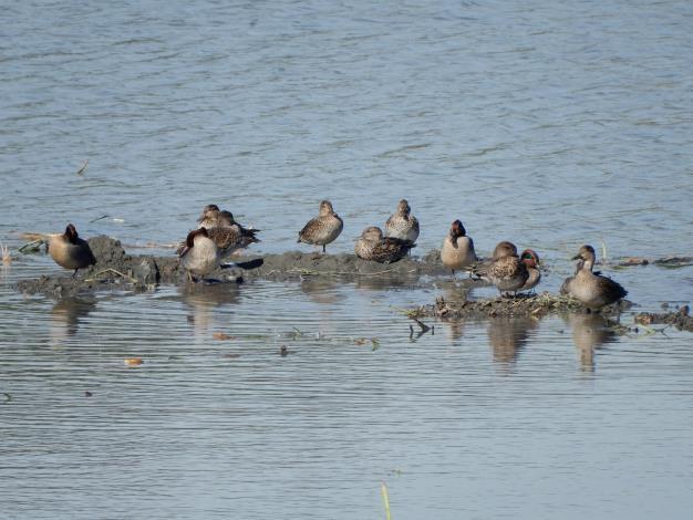 「華江雁鴨自然公園」,有機會在賞鳥區拍到這些來訪的「嬌客」.JPG
