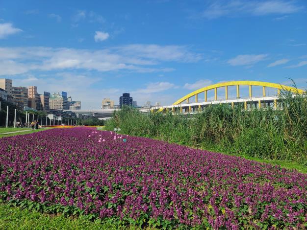 成美左岸河濱公園花海 一串紫盛開