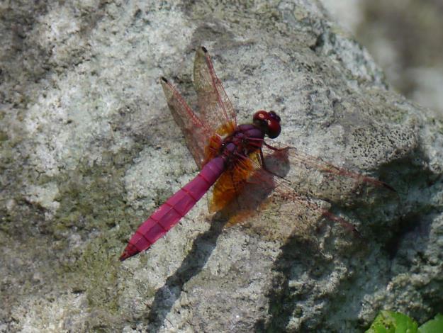 金瑞治水園區的蜻蛉類有紀錄達61種 占全台種類的三分之一