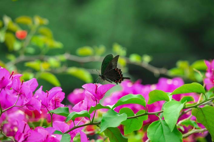 金瑞治水園區常見各種蝶類停歇花叢間.JPG