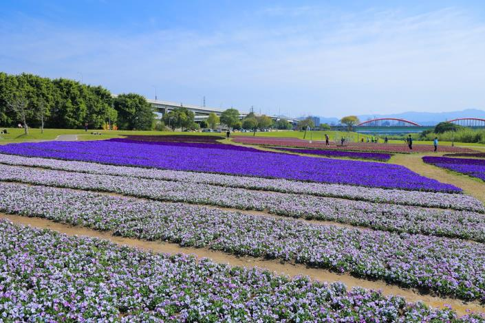 古亭河濱花海透過不同質感的紫色花朵為大地妝點浪漫色彩