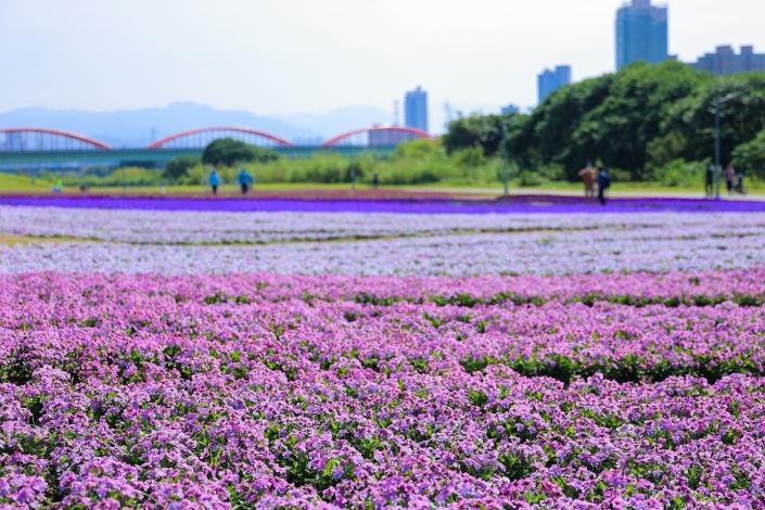 「紫爆」浪漫來襲! 古亭河濱13萬盆花海迎接春天