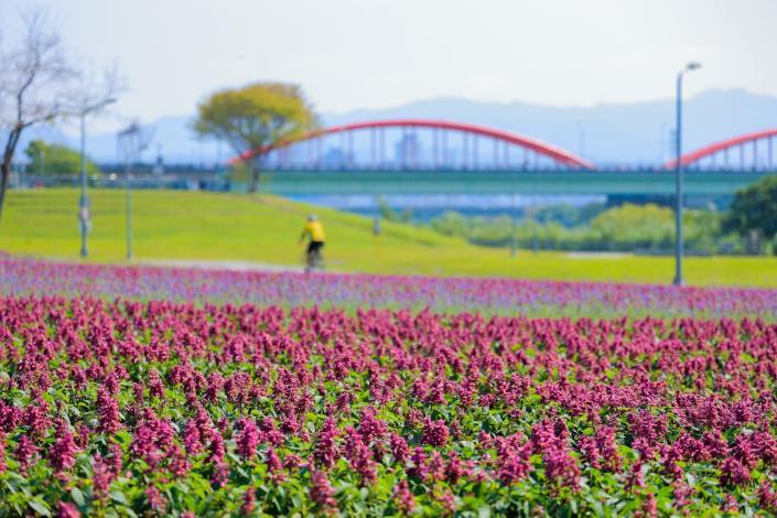 古亭河濱13萬盆花盛開 一串紫滿開超美