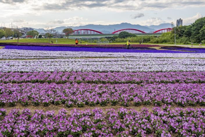 香堇菜滿開,一串紫、羽葉薰衣草也隨著天氣回暖而盛開