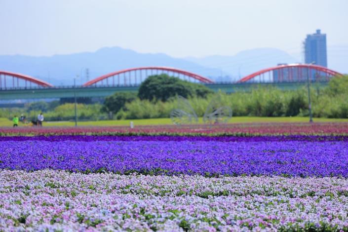 古亭河濱 13萬盆紫色花海 浪漫來襲