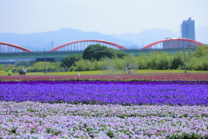 古亭河濱紫色花海 打造出媲美日本芝櫻般綿延不絕的地毯花海