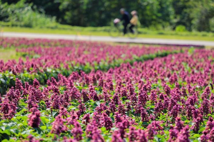 古亭河濱13萬盆花盛開 一串紫滿開迎接春天