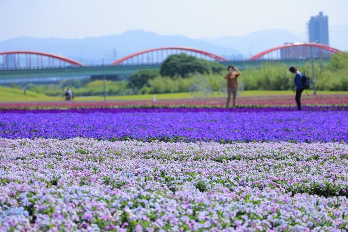 古亭河濱紫色花海創造層次豐富的視覺饗宴