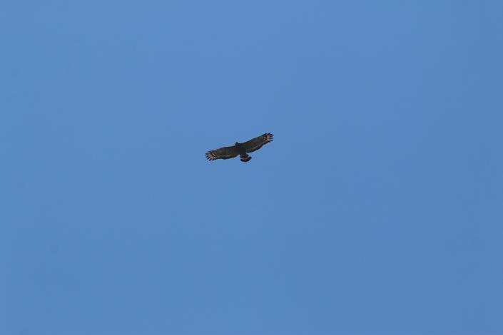 目前臺灣有正式記錄的猛禽超過三十種,絕大多數都是遷徙性猛禽,只有少數種類是不遷移的留鳥,如「揮~揮~揮~」叫聲的大冠鷲。