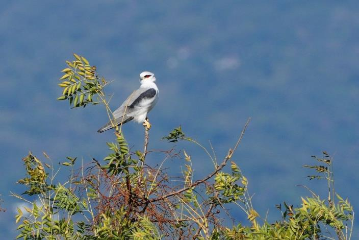 目前臺灣有正式記錄的猛禽超過三十種,絕大多數都是遷徙性猛禽,只有少數種類是不遷移的留鳥,如社子島的常駐猛禽明星-黑翅鳶。