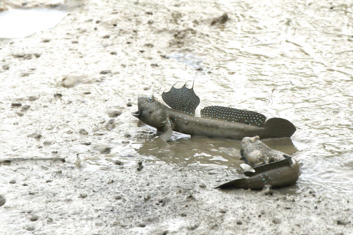 配合天氣逐漸回暖,小朋友喜愛的動物-彈塗魚開始活躍易觀察