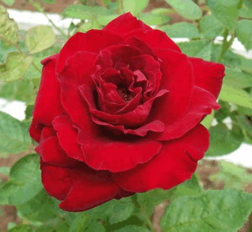 士林區區花~紅玫瑰