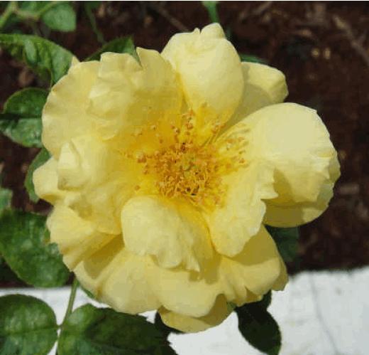 士林區區花~黃玫瑰