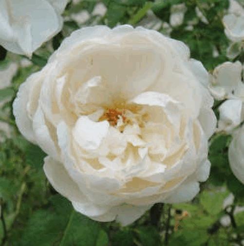 士林區區花~白玫瑰