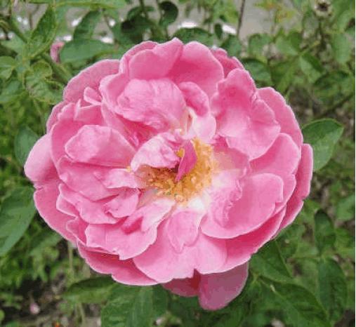 士林區區花~粉玫瑰