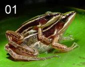 Taipei frog