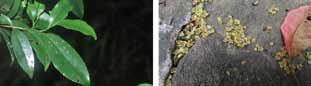 光葉柃木 山茶科