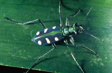 八星虎甲蟲 步行蟲科