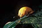 金花蟲 金花蟲科