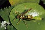 黃長腳蜂 胡蜂科