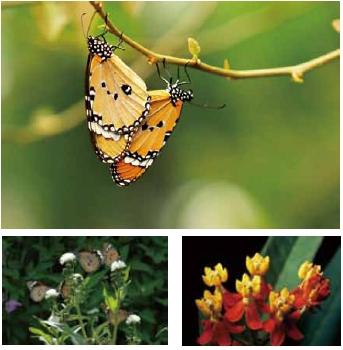 樺斑蝶 斑蝶科