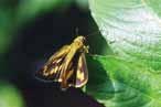 小黃斑弄蝶 蝶科