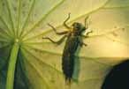 水蠆 蜻蛉目幼蟲
