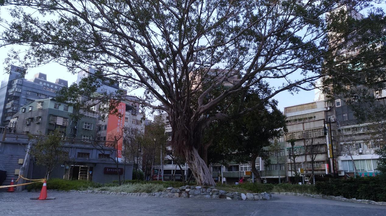 萬華406廣場-大榕樹