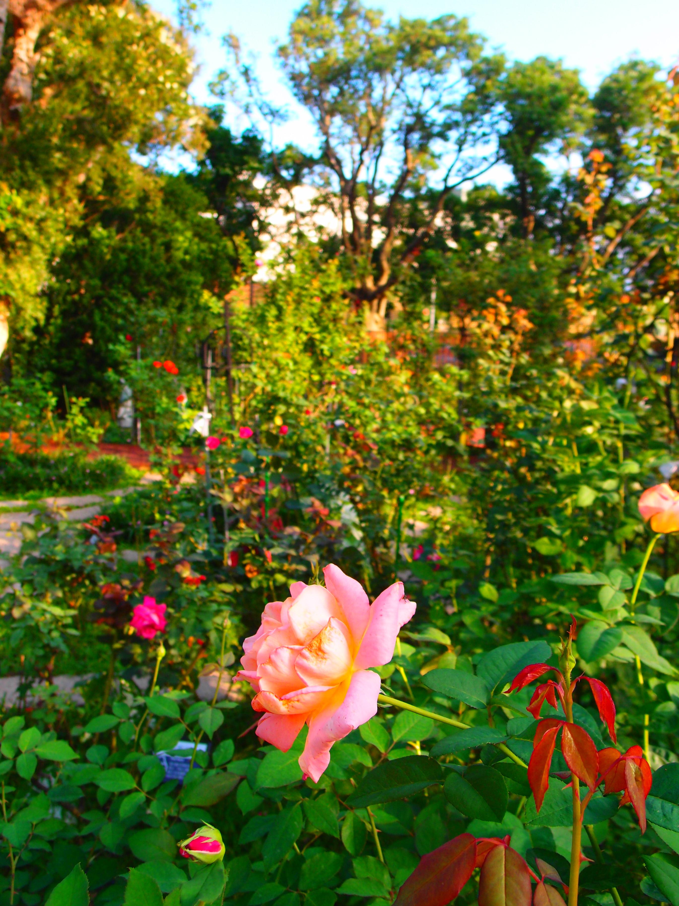 圖1、配合花期調整,春節期間仍可至新生玫瑰園欣賞花團錦簇玫瑰群。