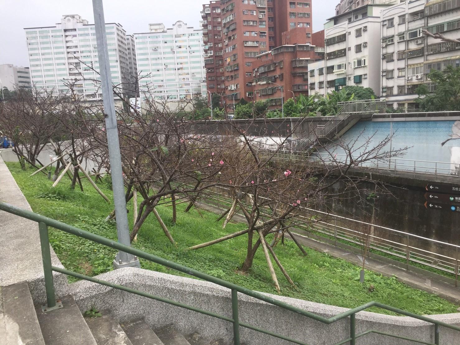 圖3、106年樂活公園櫻花含苞待放,預計於農曆年盛放。