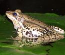 開新視窗-連結貢德氏赤蛙