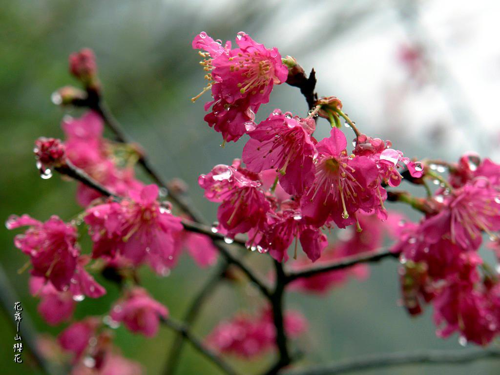 山櫻花在寒風中盡情綻放