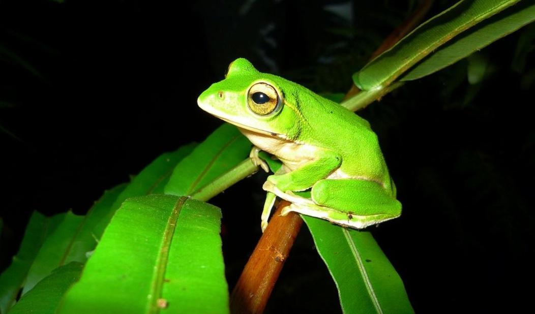 翡翠樹蛙背部為翠綠色,虹膜、眼線及顳摺皆呈金黃色