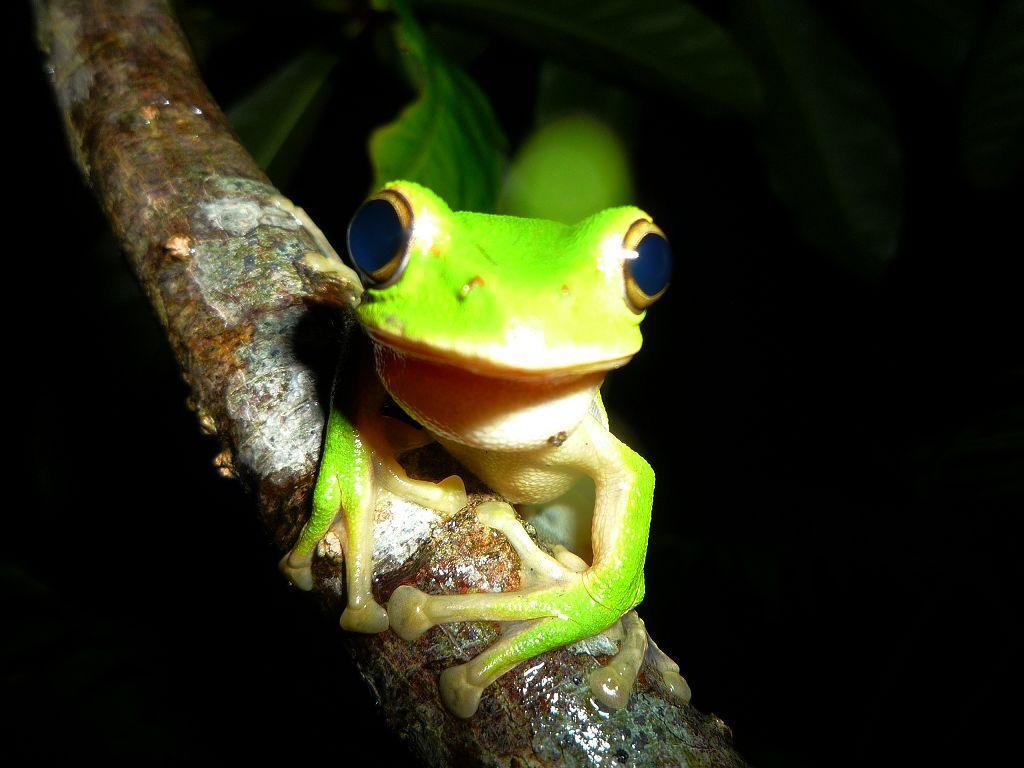 翡翠樹蛙前肢趾間具微蹼,趾端具吸盤