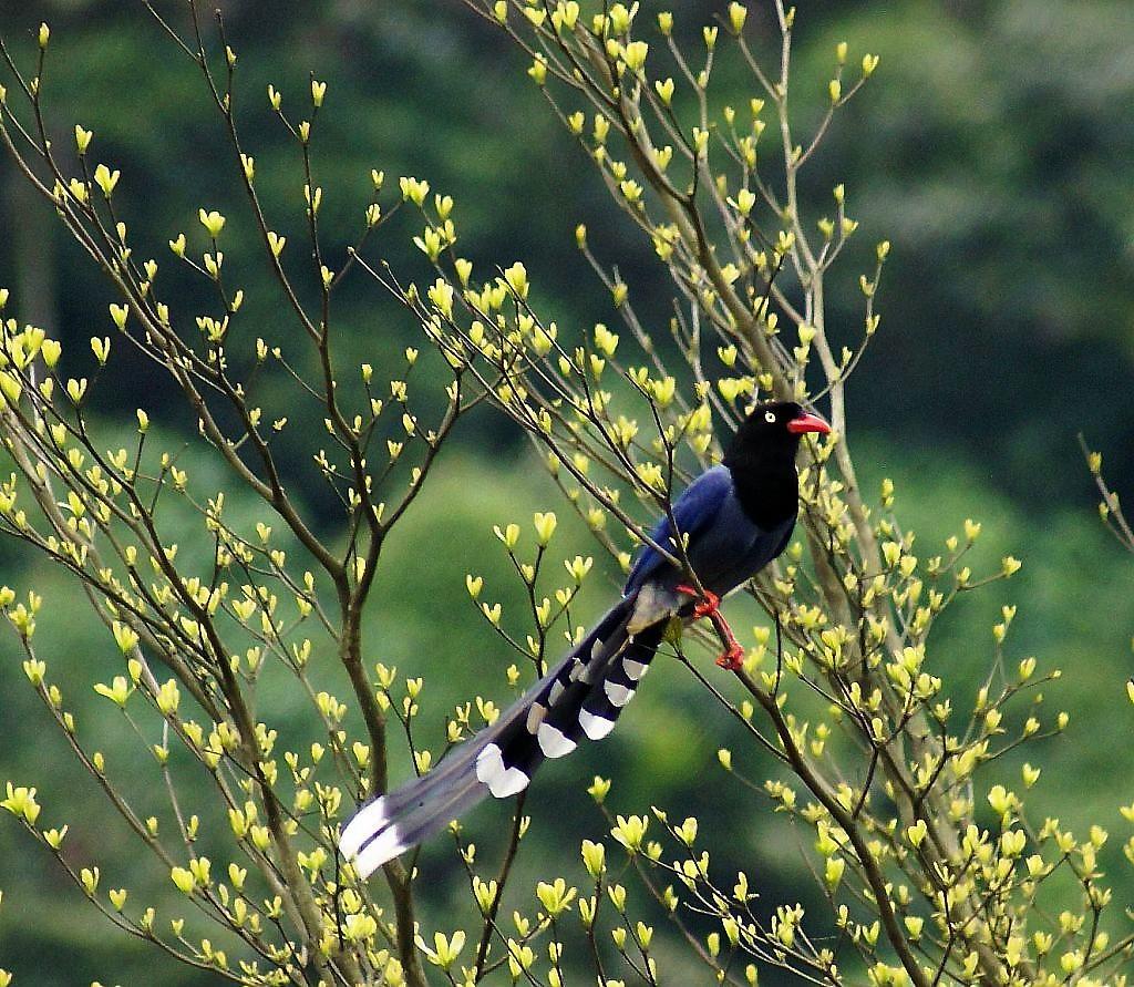 臺灣藍鵲照片1