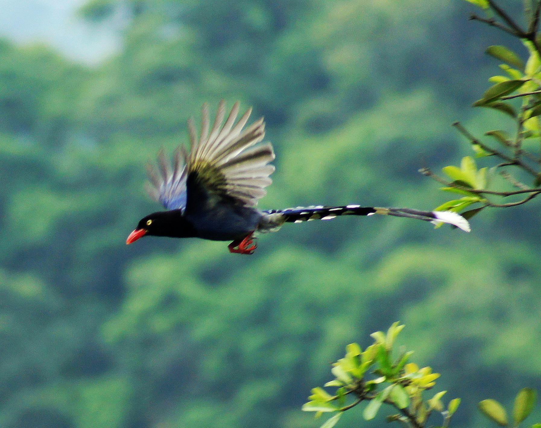 臺灣藍鵲照片2