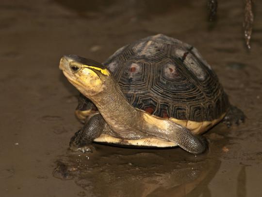圖1、翡翠水庫集水區擁有目前已知亞洲最穩定的食蛇龜野生族群。