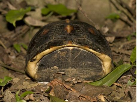 圖4、食蛇龜在遇到驚嚇時,會將頭、尾、四肢縮入龜將腹甲緊閉,故又稱「黃緣閉殼龜」。