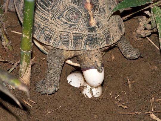 圖6、每年5-8月為食蛇龜的產卵季,一般每窩約1-4個蛋,可產1-2窩,蛋明顯比其他淡水龜大。