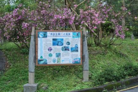 照片1:翡管局最早移植之10株烏來杜鵑開花情形及復育解說牌