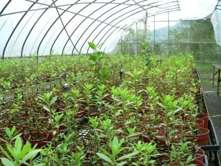 照片3:利用簡易溫室培育之烏來杜鵑扦插苗