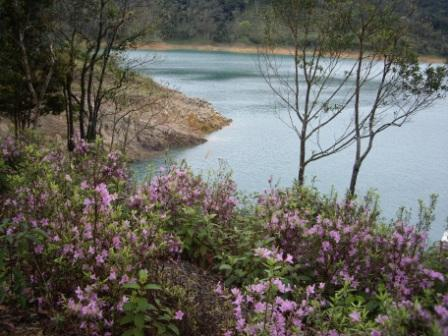 照片6:鷺鷥潭原生地附近回植之烏來杜鵑盛開情形