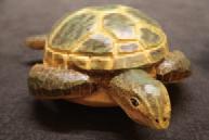 神秘客:绿蠵龟