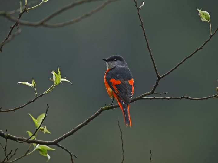 """Perched on treetops, male yellow-throated minivets look like hanging red chili peppers, giving rise to the name """"red mountain pepper."""" (Photo: Guo Gengguang)"""